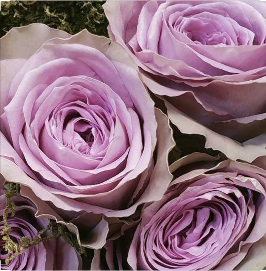 Троянда тиара