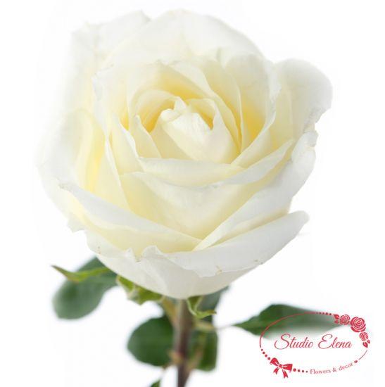Троянда Білий Шоколад, 80 см