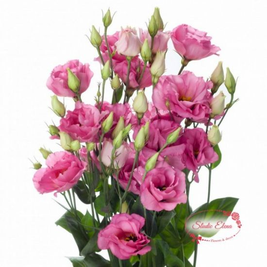Квіти Еустома