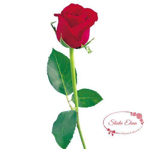 Троянда Престиж 1 метр