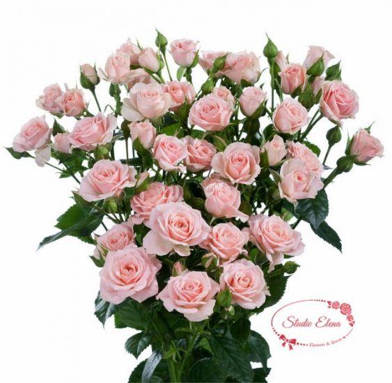 Роза сорта Бомбастик