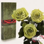 Долгосвежая роза — Золотистый лайм
