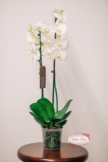Фаленопсис белый, 2 ст