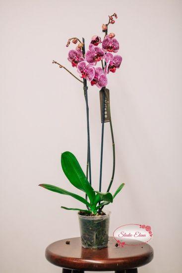 Фаленопсис Королевский пурпур, 2 ст