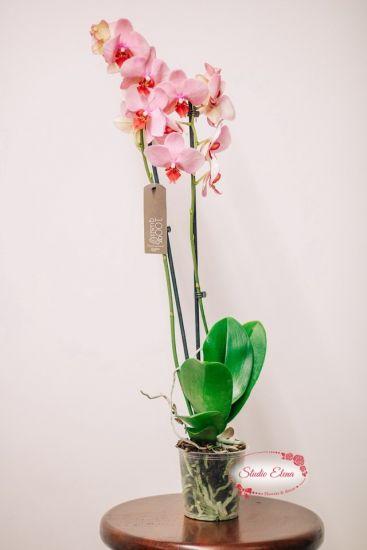 Живой цветок Орхидея розовая