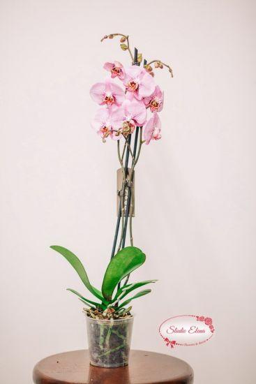 Фаленопсис Королевский нежно-розовый, 2 ст