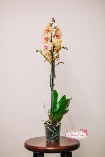 Орхідея жовта