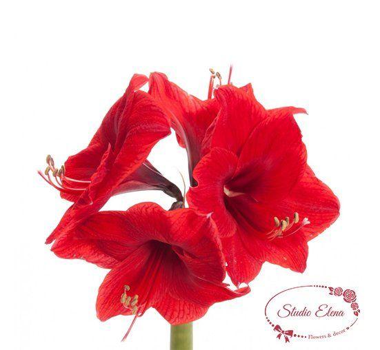 Квітка Амарилліс