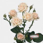 Роза сорта Яна, 70 см