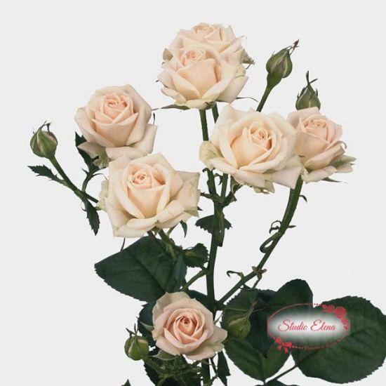 Троянда сорту Яна, 70 см