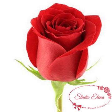Троянда Фрідом, 110 см