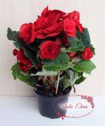 Квітка Бегонія червона