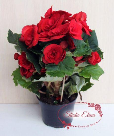 Цветок Бегония красная