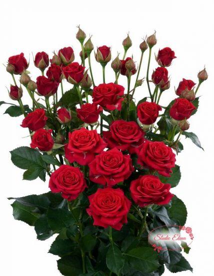 Роза сорта Мирабель, 70 см