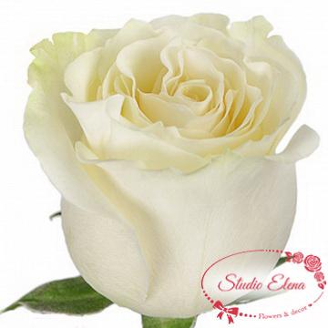 Роза Мондиаль (импорт), 70 см