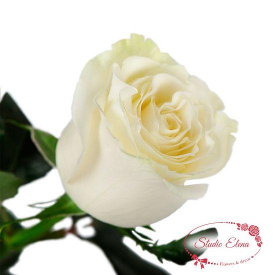 Троянда Мондіаль, 1 м