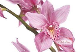 Цимбидиум 1 цветок