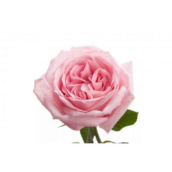 Піоновідна троянда
