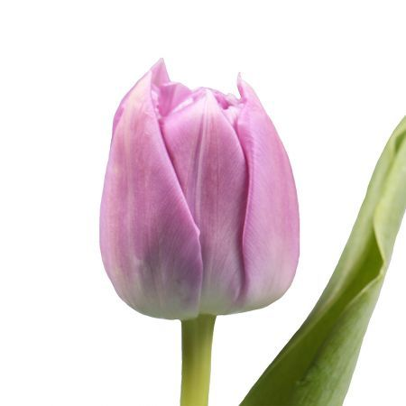 Тюльпан піоновидний