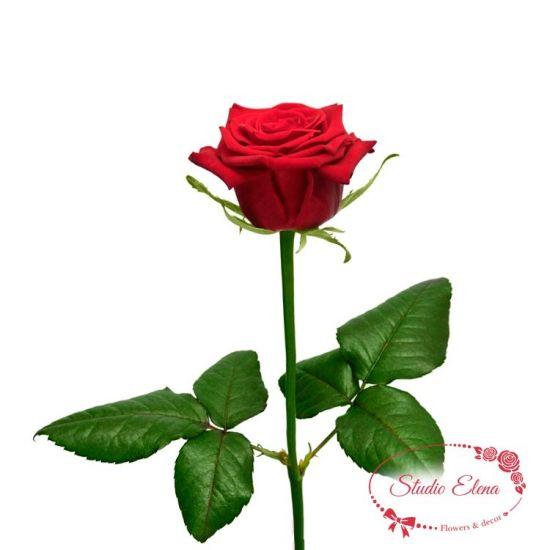 Троянда Престиж, 60 см