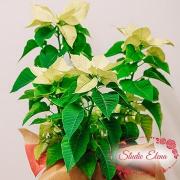 Рослина Різдвяна зірка