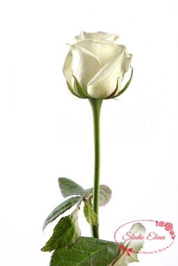 Троянда Акіто
