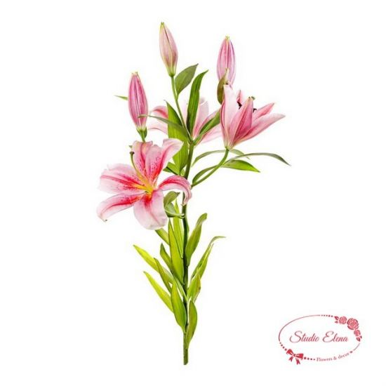 Ніжна квітка Королівська Лілія